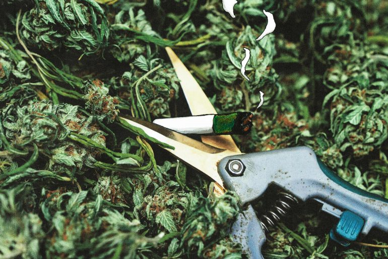 how to trim cannabis